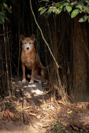 The dingo is legendary as Australia's wild dog.