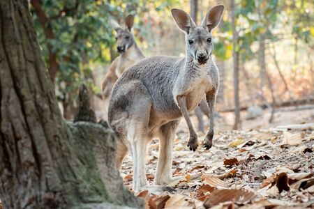 The behavior of a mother kangaroo with a baby in the pouch.