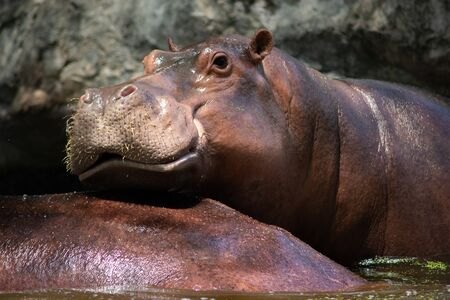The different actions of the hippopotamus during the day.