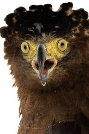Crested serpent-eagle is a medium-sized bird of prey that can be found in forests in tropical Asia. Stock Photo
