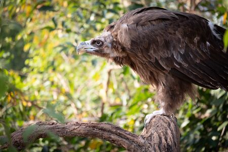 The Cinereous Vulture is believed to be the largest bird of prey in the world.