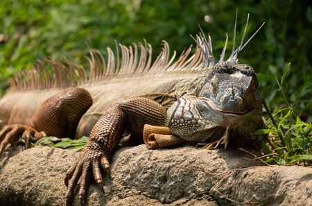 The iguana is a large docile species of lizard Stock Photo