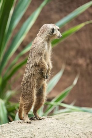 Meerkat's behavior during the day