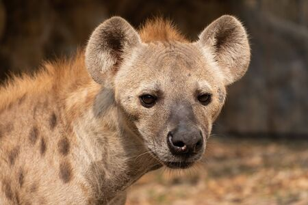 The hyena is Africa's most common large carnivore. Stock Photo