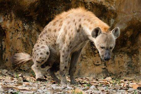 The hyena is Africa's most common large carnivore. Banque d'images