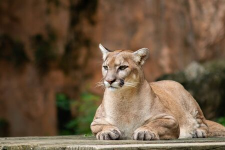 The cougar, also known as the puma