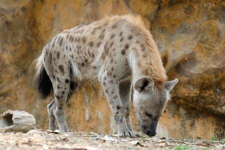 La iena è il grande carnivoro africano più diffuso. Archivio Fotografico