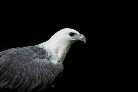 White-bellied Sea eagle on the branches