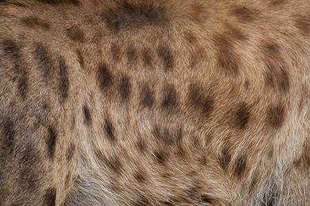 The hairs of the hyenas for the background. The hyena is Africa's most common large carnivore.