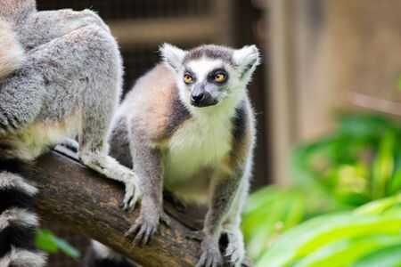 Ring-tailed lemur is instantly recognisable due to its long, bushy, black-and-white ringed tail.