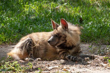 Streifenhyänen haben einen breiten Kopf mit dunklen Augen, einer dicken Schnauze und großen, spitzen Ohren. Standard-Bild