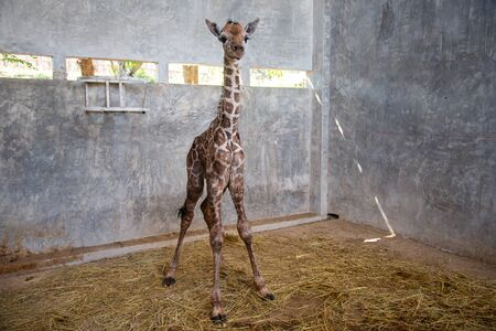 Baby giraffe is giving birth on the land during the first birth. 版權商用圖片