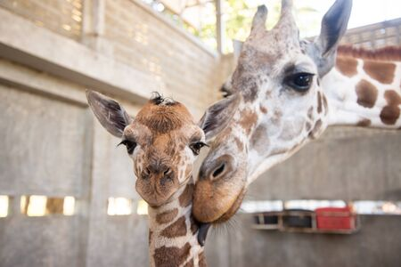 Bebé jirafa está dando a luz en la tierra. La madre jirafa cuida de cerca a su bebé durante el primer parto. Foto de archivo
