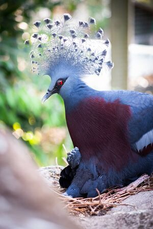 Victoria crowned pigeon is hatching Its baby. Victoria crowned pigeon is a blue-gray bird that is considered one of the most beautiful birds in the world. Standard-Bild