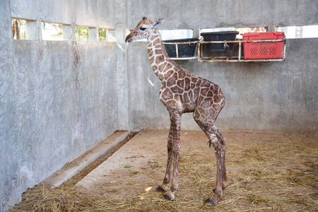 Baby giraffe is giving birth on the land during the first birth. Stock Photo