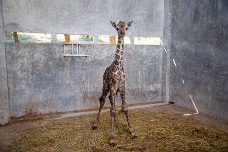 La cría de jirafa está dando a luz en la tierra durante el primer nacimiento.