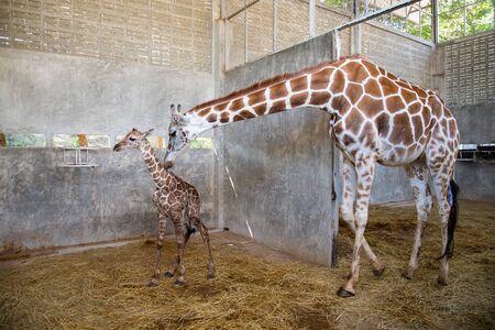 Bebé jirafa está dando a luz en la tierra. La madre jirafa cuida de cerca a su bebé durante el primer parto.