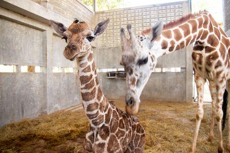 Babygiraffe gebiert auf dem Land. Die Giraffenmutter kümmert sich während der ersten Geburt genau um ihr Baby.