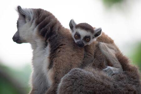 Lemur is raising their baby Stok Fotoğraf