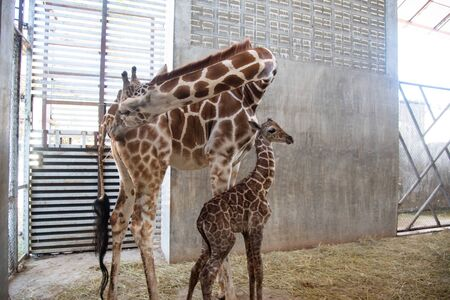 Baby giraffe is giving birth on the land. The giraffe mother is looking after her baby closely during the first birth. Stock Photo