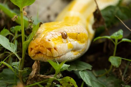 Burmese pythons are one of the five largest snakes in the world and are native to Southeast Asia