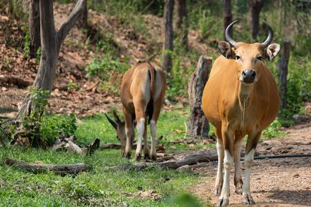 The banteng is a species of wild cattle found in Southeast Asia.