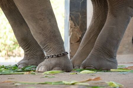The ankle of an elephant with a chain. In one view, there is no freedom of elephants.
