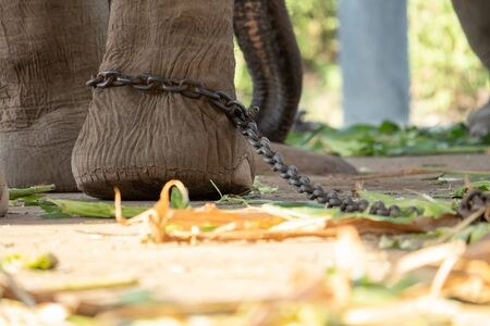 The ankle of an elephant with a chain. In one view, there is no freedom of elephants. Stock Photo - 136852856
