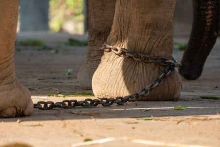 The ankle of an elephant with a chain. In one view, there is no freedom of elephants. Stock Photo - 136852858