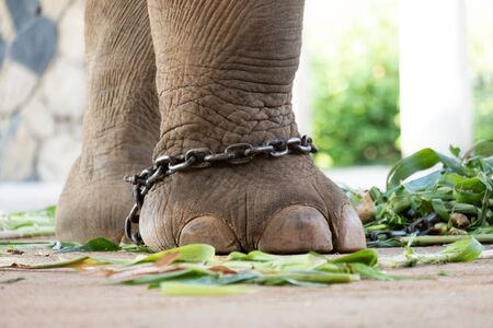 The ankle of an elephant with a chain. In one view, there is no freedom of elephants. Stock Photo - 136852862