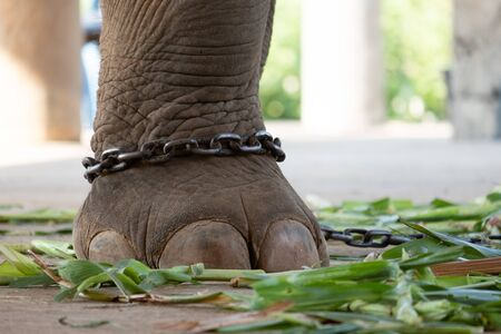 The ankle of an elephant with a chain. In one view, there is no freedom of elephants. Stock Photo - 136852870