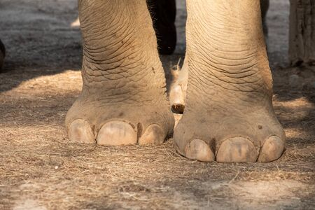 closeup image nail and foot of elephant 스톡 콘텐츠