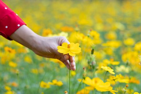 A hand touching a flower in a yellow flower field