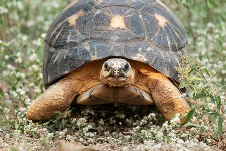 Sulcata tortoise is herbivores. Primarily, their diets consist of many types of grasses