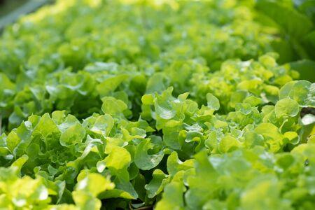 Fresh vegetables grown in organic vegetable plots