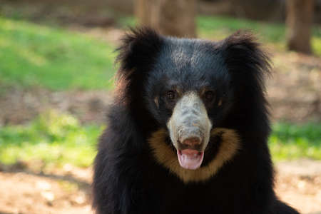 Sloth bear has a long lip which makes it to use for sucking termites. Stock Photo
