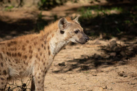 The hyena is Africa's most common large carnivore. Imagens