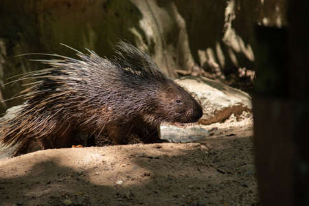 The different actions of the malayan porcupine during the day