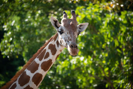 The giraffe looked at what was ahead with suspicion. Giraffe's habitat is usually found in African savannas, grasslands or open woodlands