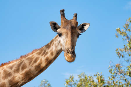 The giraffe looked at what was ahead with suspicion. Giraffe's habitat is usually found in African savannas, grasslands or open woodlands Standard-Bild
