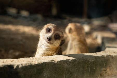 Meerkat will bask in the morning to warm up the body. Meerkat's behavior
