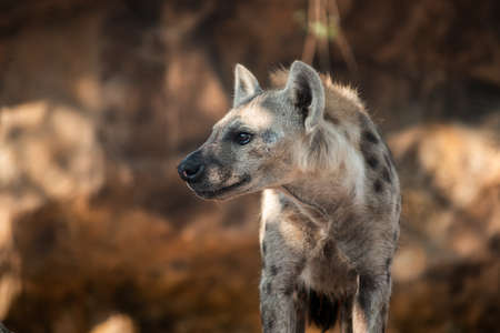 The hyena is Africa's most common large carnivore. 免版税图像