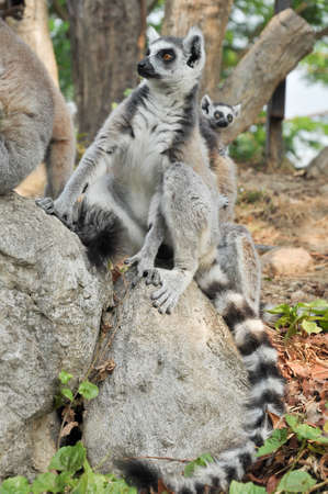 Ring-tailed lemurs give birth to one offspring, but twins can be frequent if food is plentiful.