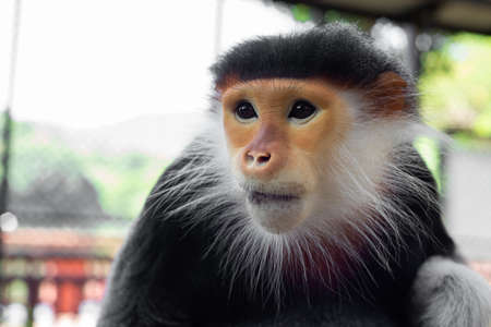 The Red-shanked douc is a species of Old World monkey. 免版税图像