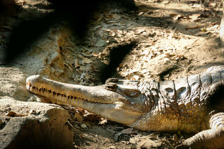False gharial is sunbathing in the morning to warm up. 免版税图像