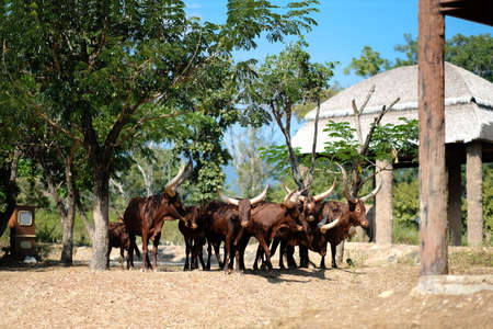 Watusi cattle is the bull with the longest horns in the world.