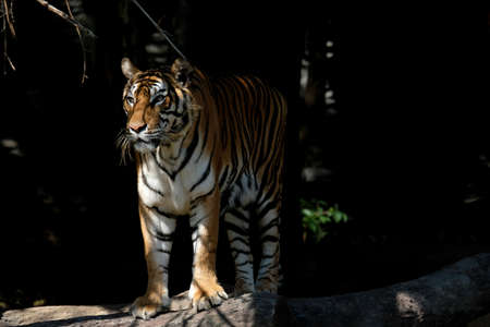 Tiger standing in the shade
