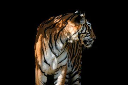 Tiger on black background 免版税图像
