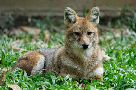 Golden jackal resting on lawn