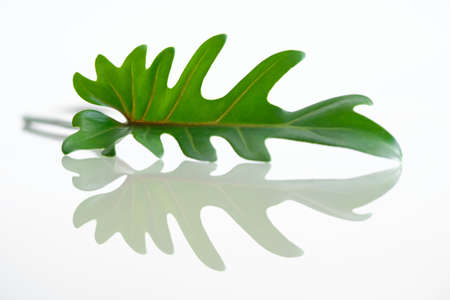 Green Philodendron Xanadu and Reflection, popular foliage adorned on white background. 免版税图像